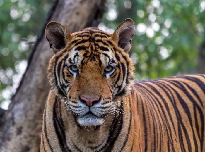 tiger-1822537_1920